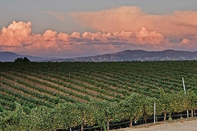 Vineyard in Temecula Valley