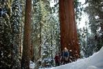Sequoia in November